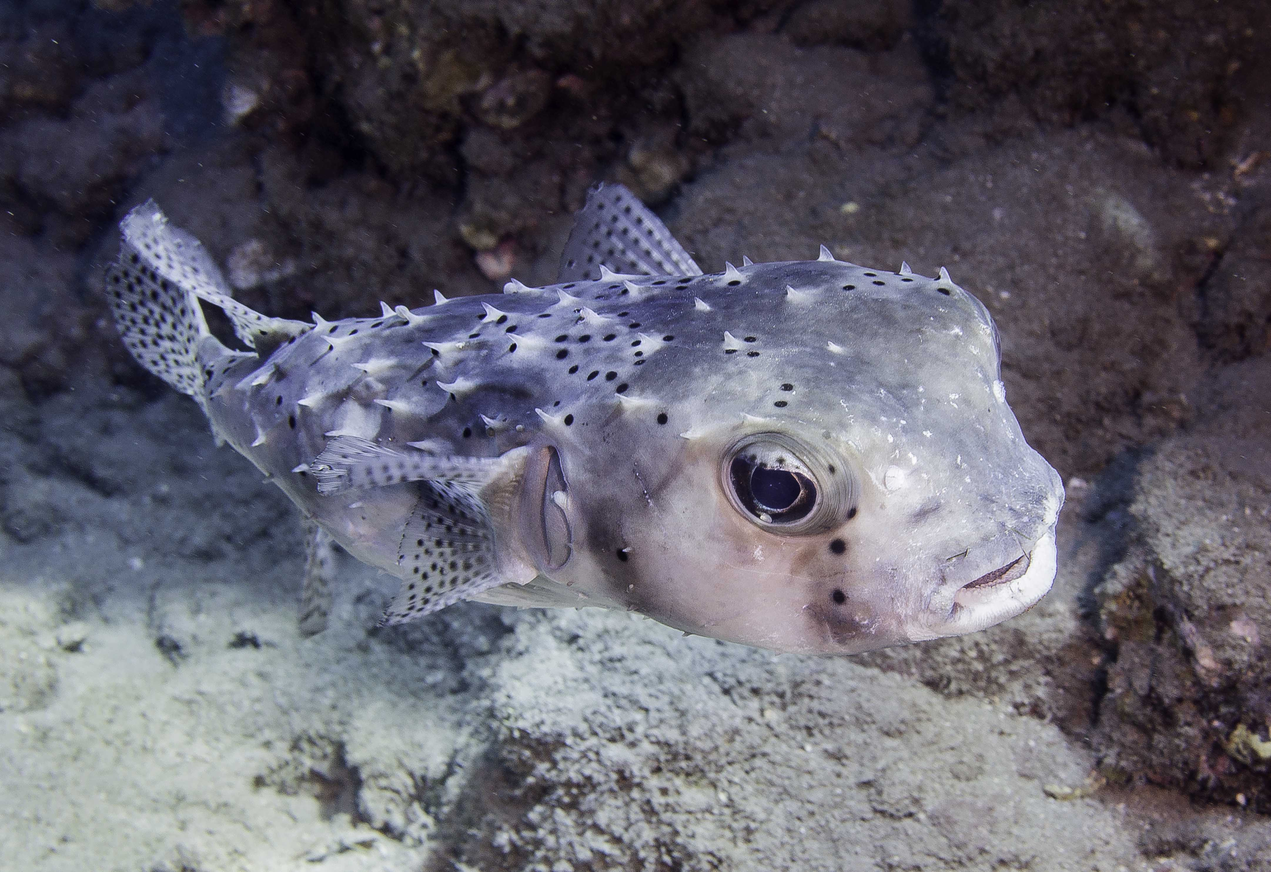 Large Puffer