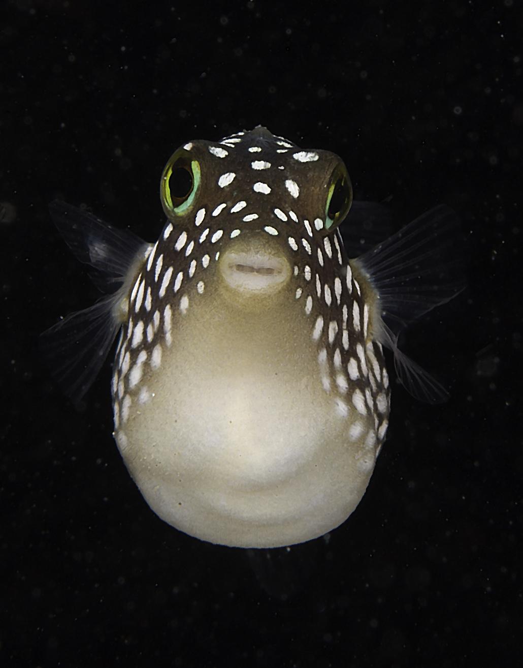 box fish prego