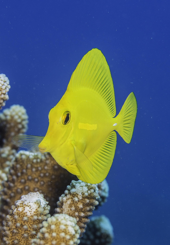 Yellow Tang Coral