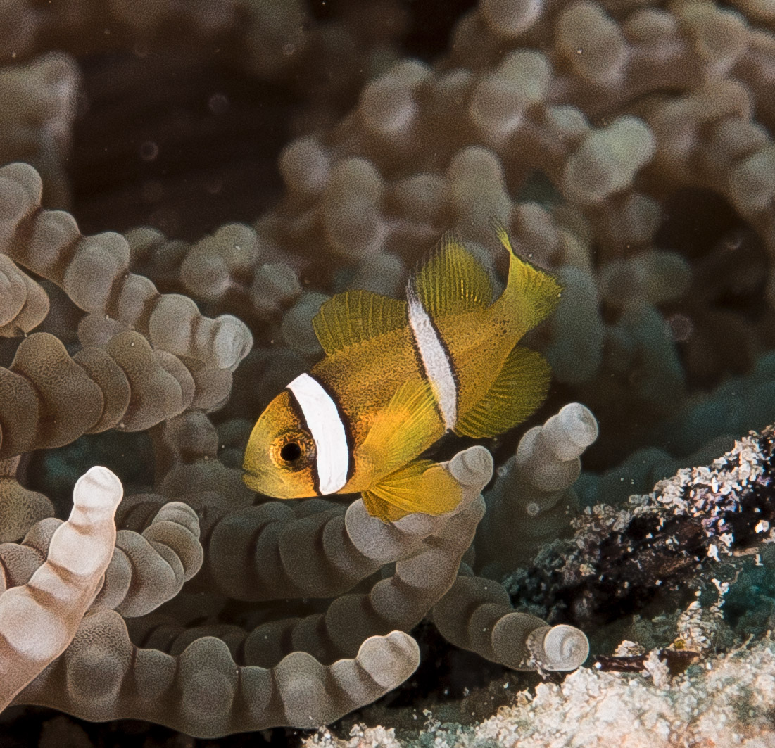 Dive the world for Clown fish size